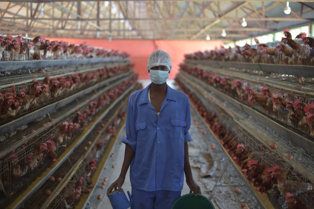 Poultry diseases and treatments