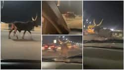 Video shows cow running on 3rd Mainland Bridge at night in Lagos, Nigerians react