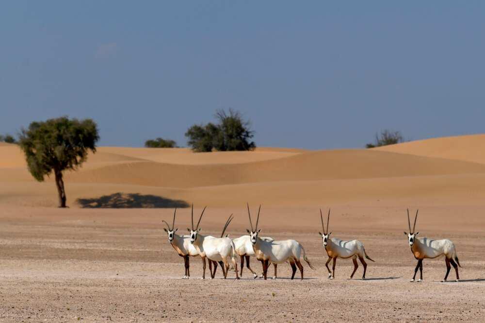 UAE's national animal
