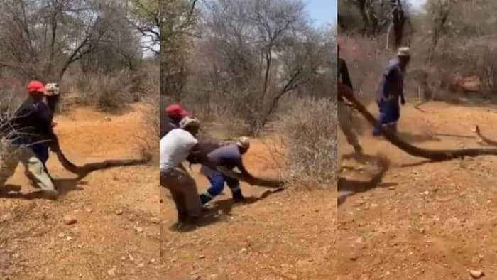 Video shows 3 men dragging a large snake, this is what the reptile did