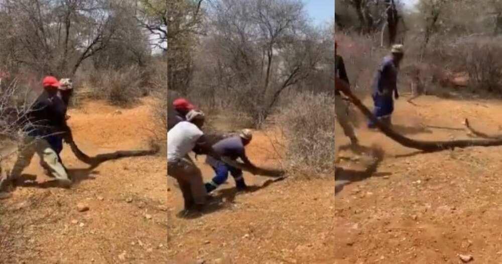 Turn off FB IA: Mzansi, can't deal, video, men dragging, large snake