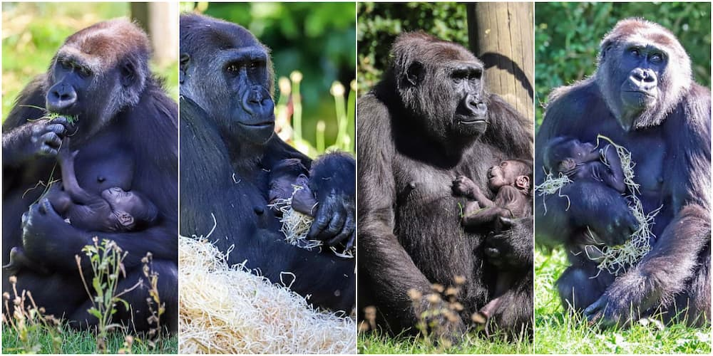 Can't take my eyes off you-oo-oo: New mother gorilla cradles month-old baby