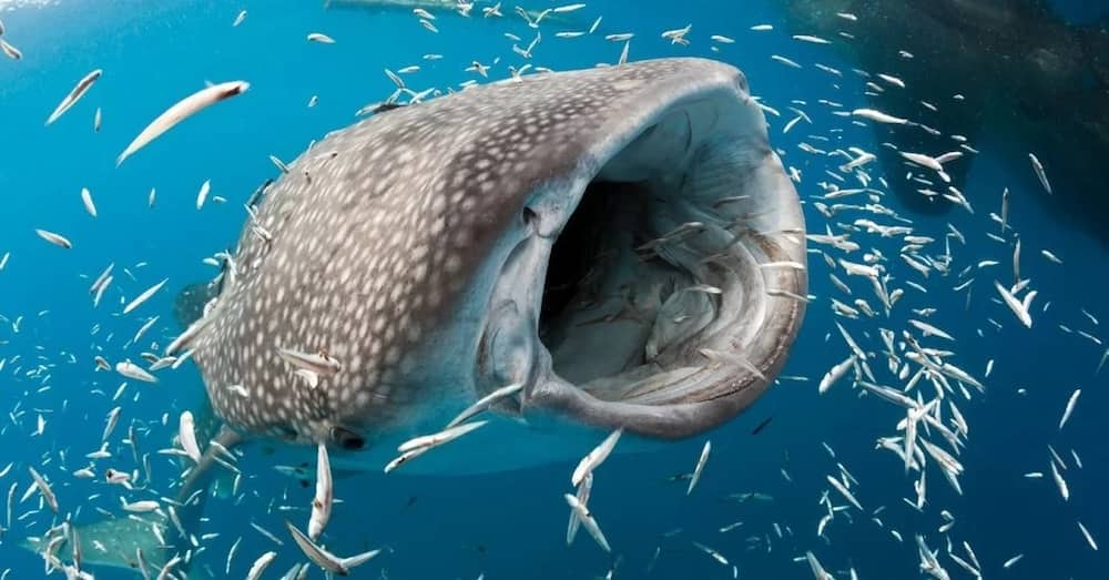 Picture of the biggest fish in the world whale shark