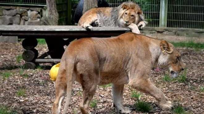 An kamo Zakuna biyu da damusa uku sun tsere daga Gidan Zoo a kasar Jamus