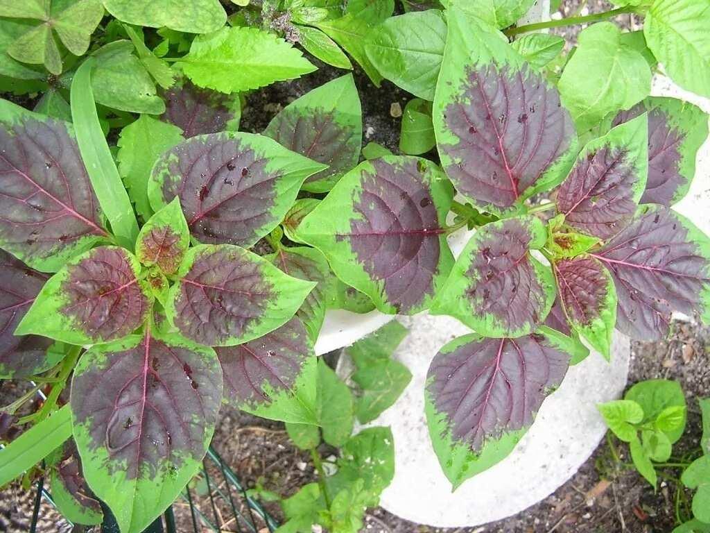 Health benefits of scent leaf ▷ Legit ng