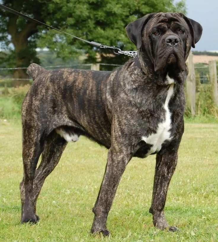 The English Mastiff