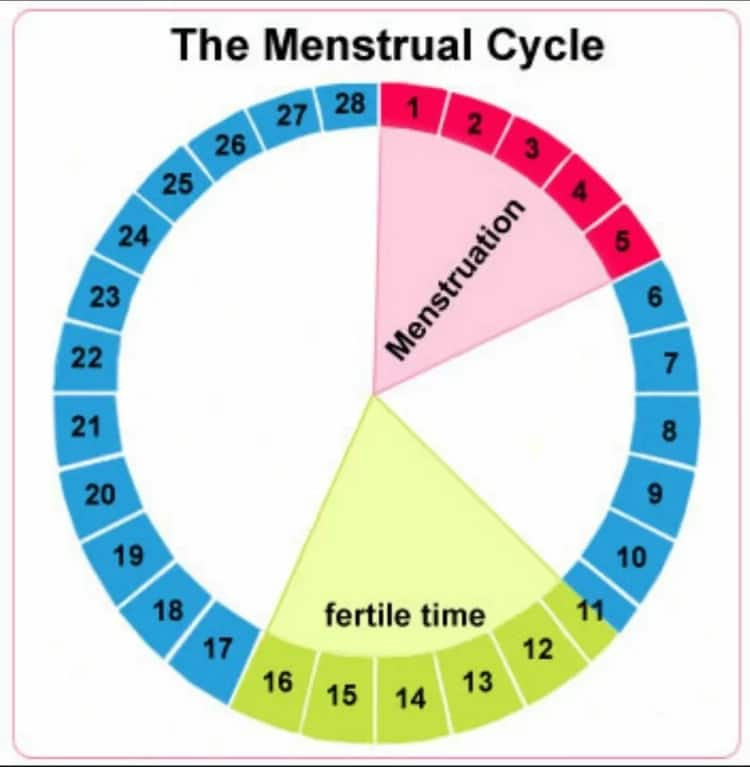 Ovulation Calculator for Baby Boy: How It Works Legit.ng