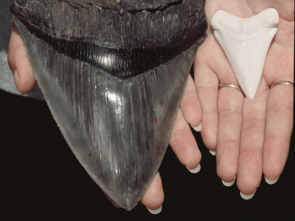 Incredible size of megalodon`s tooth