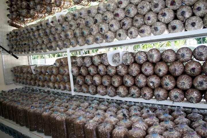 Mushroom farming in Nigeria bags