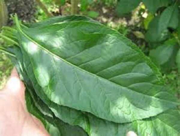 Bitter leaf side effects ▷ Legit ng