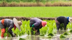 Edo farmers cry out as flood destroys 280 hectares of rice farms