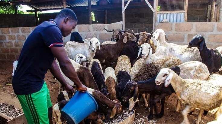 Animals Rearing Entrepreneur https://www.legit.ng