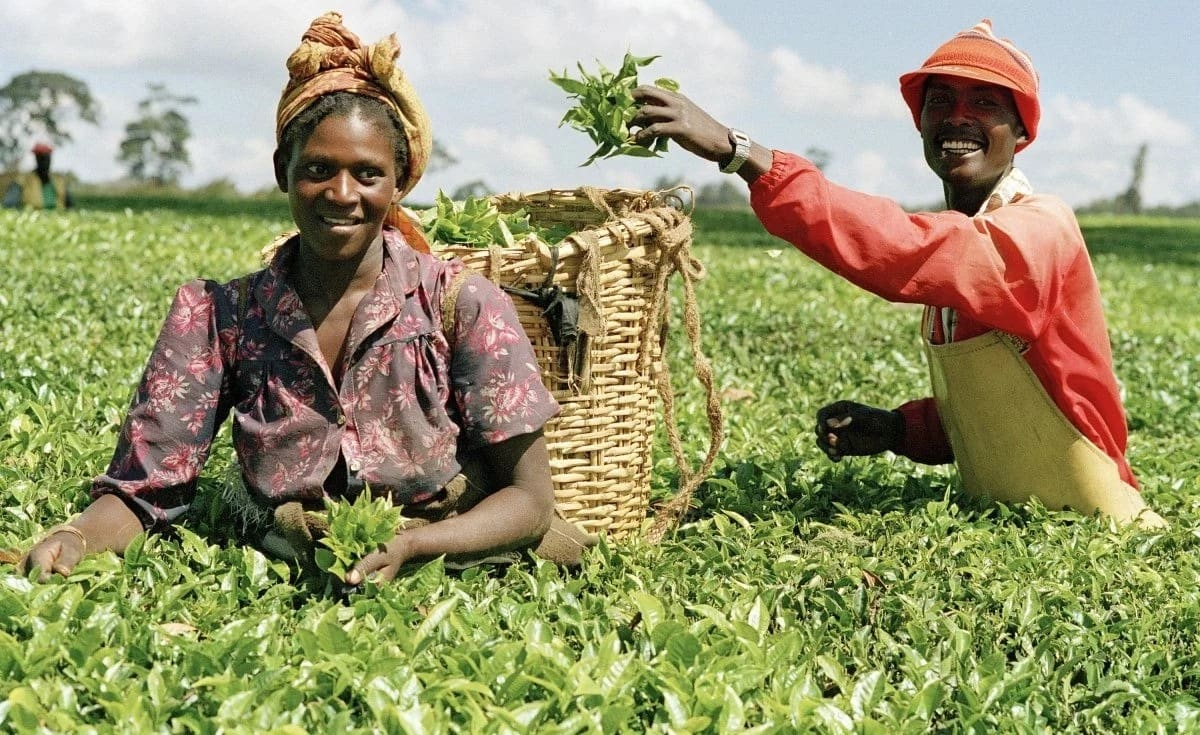 what are cash crops in africa