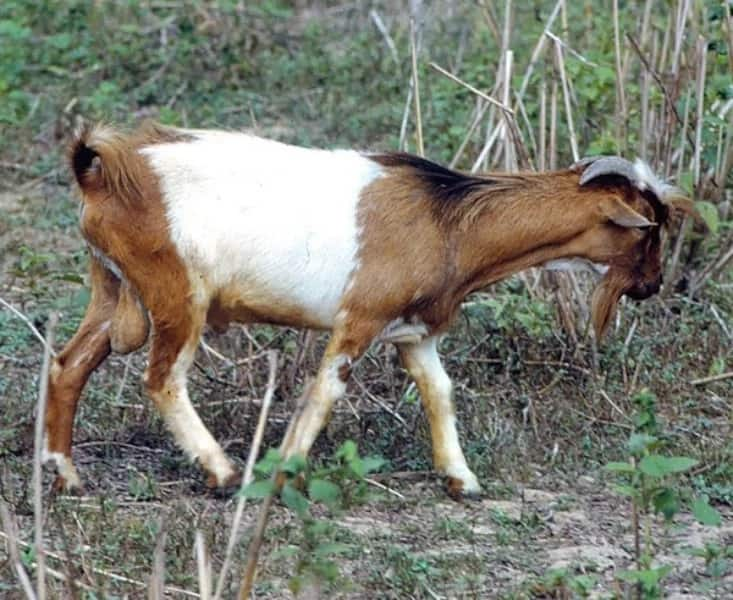Breeds of goat in Nigeria and their characteristics ▷ Legit ng
