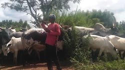 Just in: Tailer loaded with cows kills 3, injures 24 persons in Kebbi