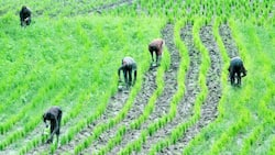 Hunger looms as flood submerges rice, maize farms belonging to over 5000 farmers in Adamawa