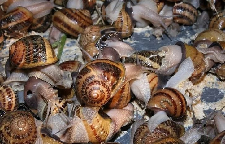Current market prices for snail and where to get them in