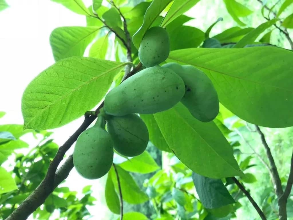 Benefits of Unripe Pawpaw Water and Seeds in 20191 ▷ Legit ng