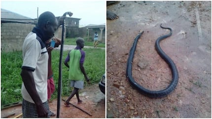 Huge snake terrorizing fishes in Ogun state becomes pepper soup ingredient (photos)