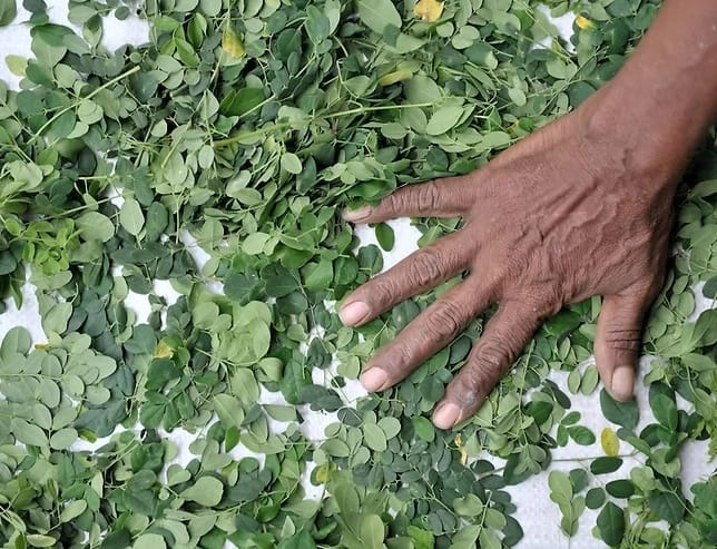 Gathered moringa leaves