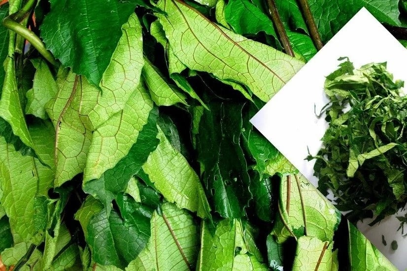 Top Benefits of Bitter Leaf and Scent Leaf [Updated] ▷ Legit ng
