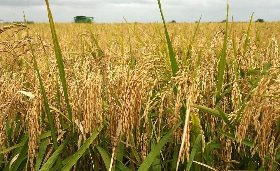 Cash crops in Nigeria and where they are found Legit.ng