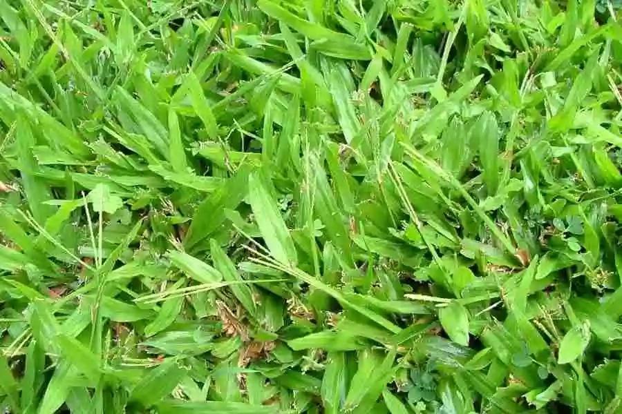 Nigerian Weeds And Their Botanical Names Legit Ng