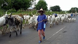 Just in: Abia assembly passes anti-grazing bill into law
