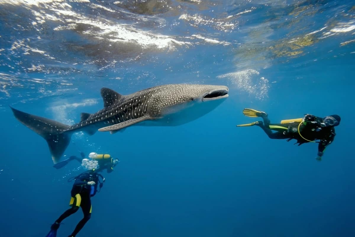 The biggest fish in the world whale shark