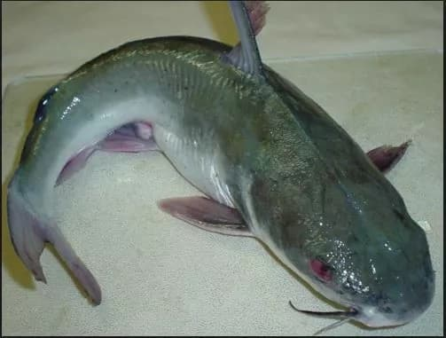 Shocking dangers of consuming catfish, learn 2 replacements