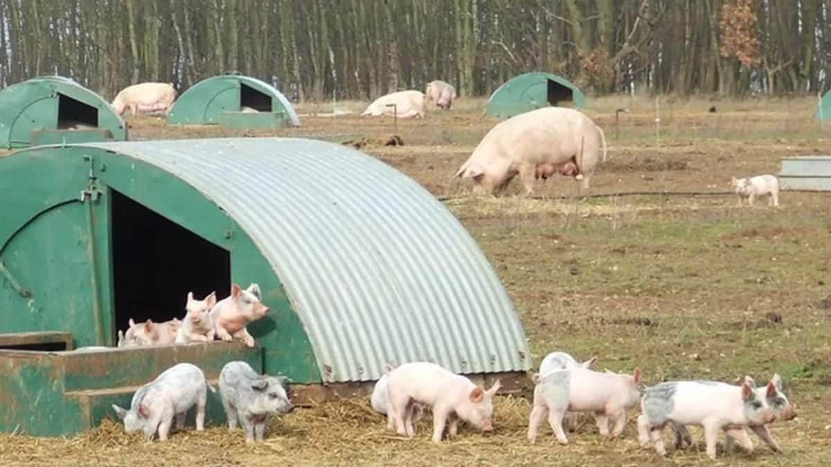 Complete guide to commercial pig farming in Nigeria ▷ Legit ng