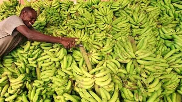 How to start plantain farming in Nigeria