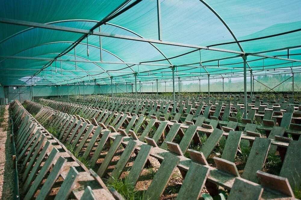 Huge snail farm