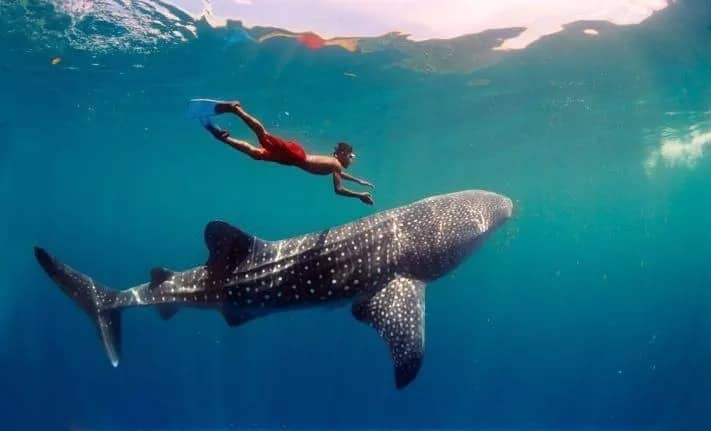 The biggest fish in the world and a human