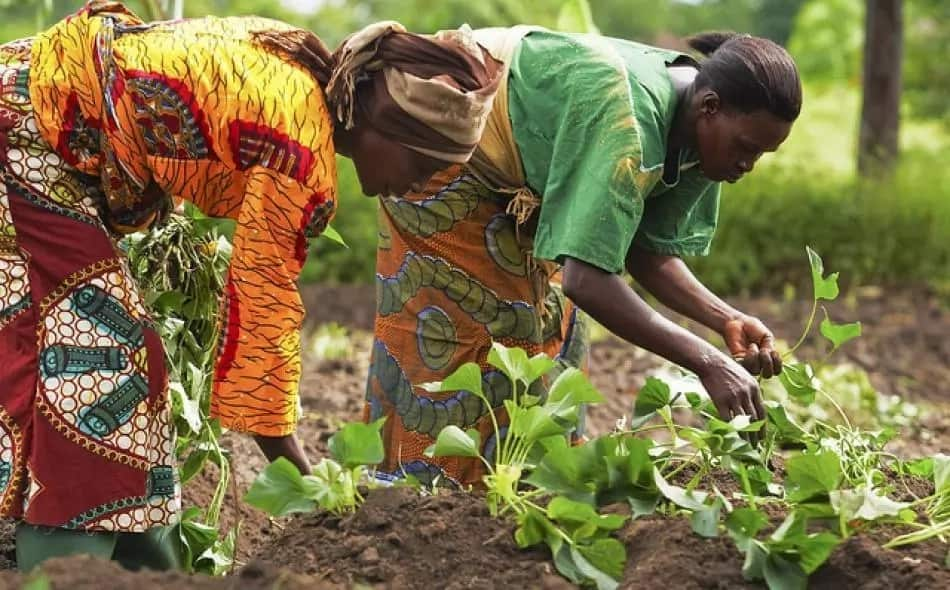 Major forms of agriculture in Nigeria ▷ Legit ng
