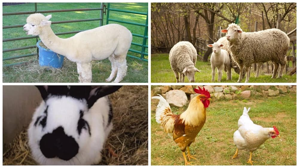 Classification of farm animals based on their uses ▷ Legit ng