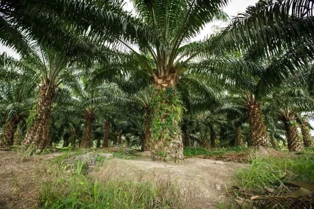 Palm oil business in Nigeria 2017: How to start? ▷ Legit ng