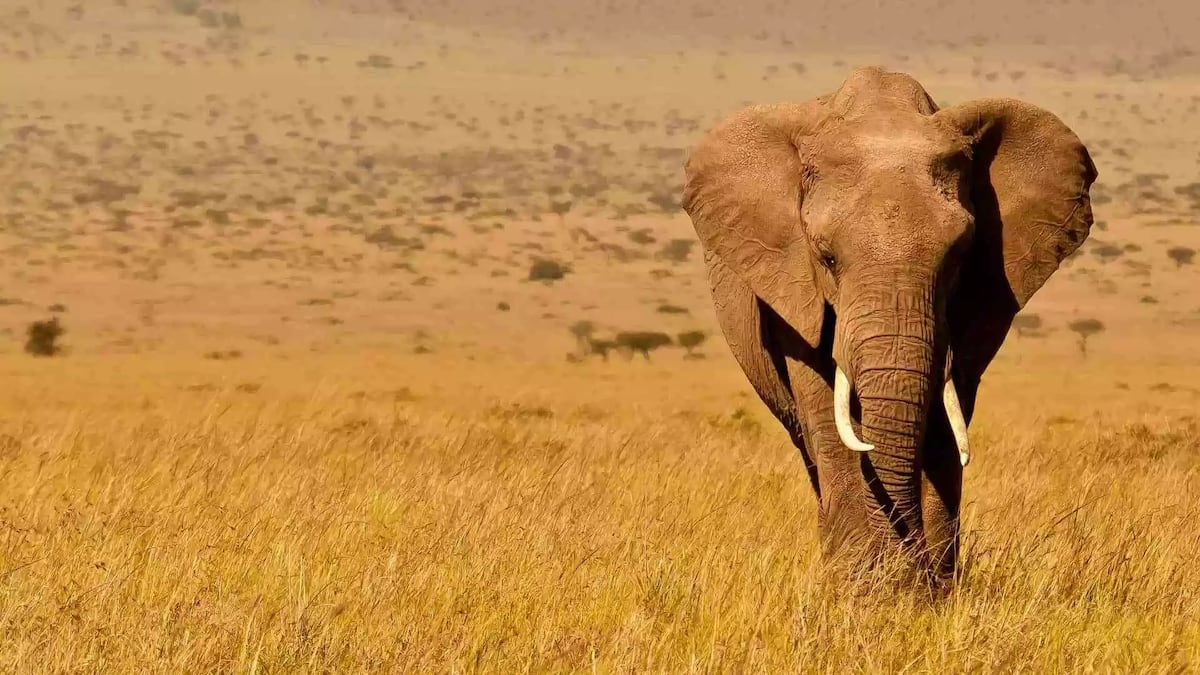The African elephant can carry up to 9,000 kg, which is the weight of 130 adults