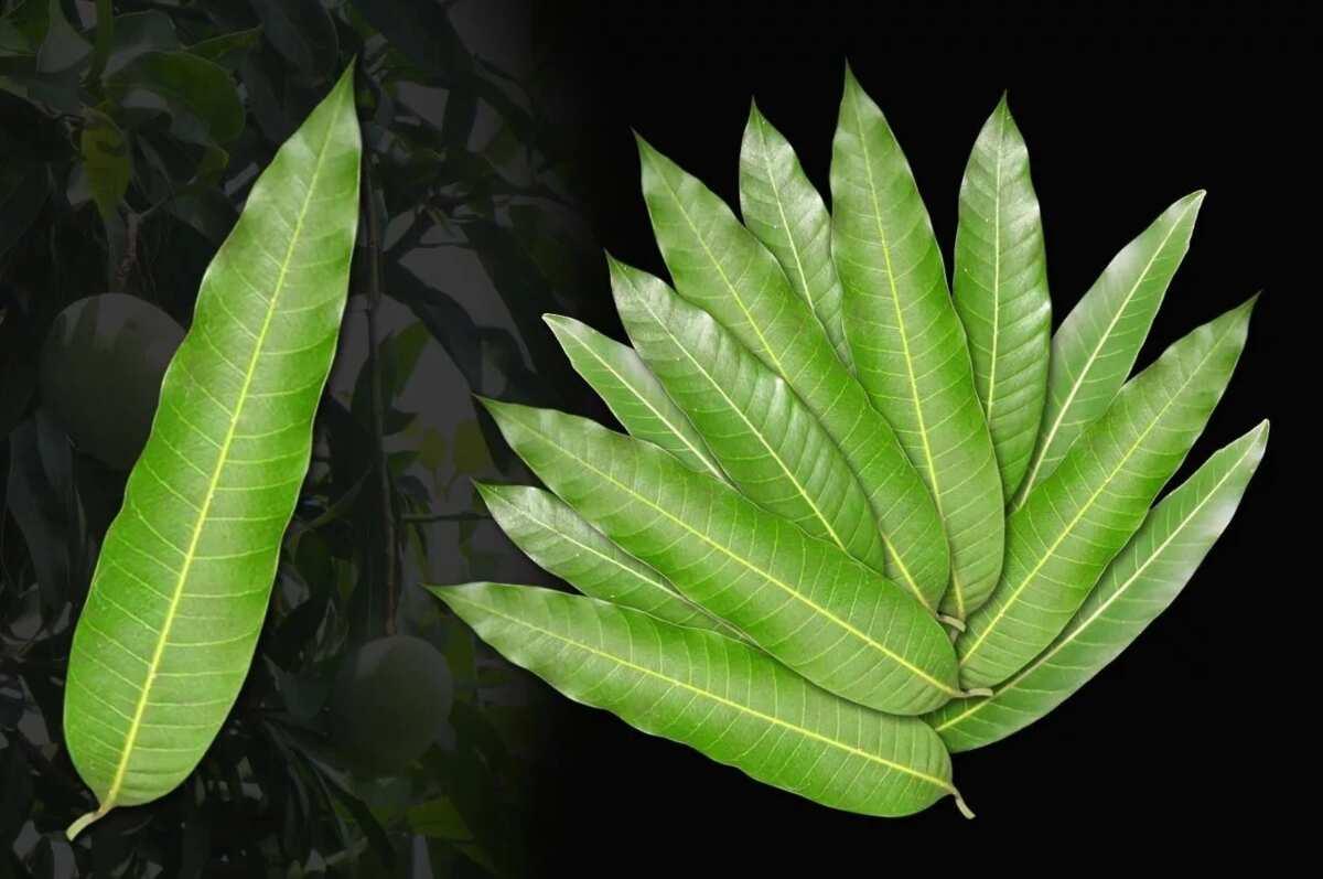 Mango leaves benefits