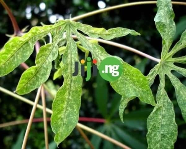 Cassava farming business plan: From the starting point to a great fortune!