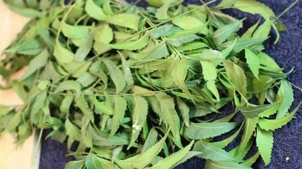 How to make neem oil from neem leaves