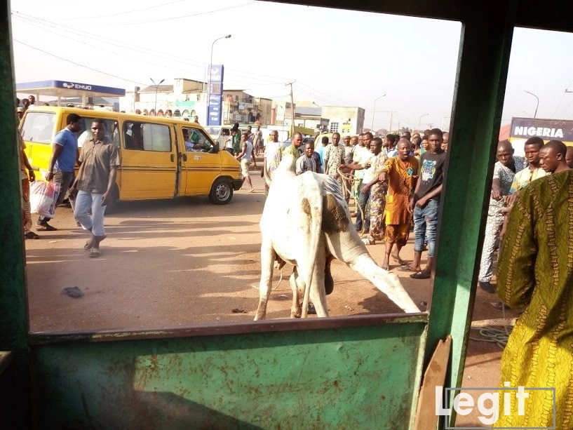 Cow loses temper in Lagos, attacks woman as spectators call for its arrest (video)