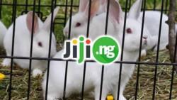 Rabbit farming: How to start