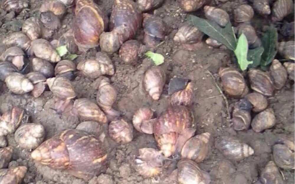 13 quick ways to become millionaire through snail farming