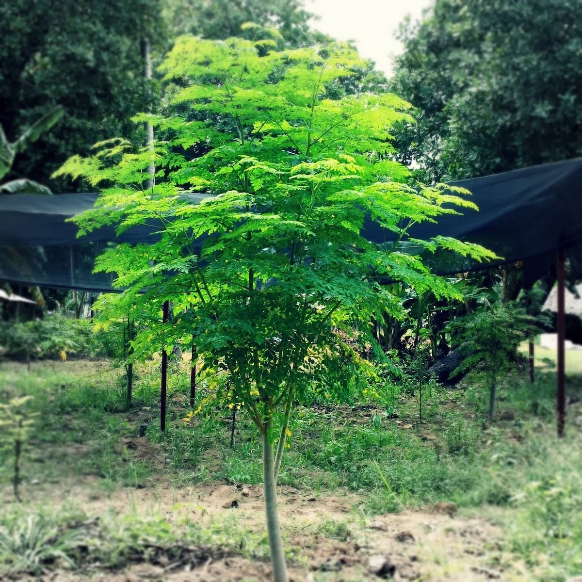 Moringa trees in a garden