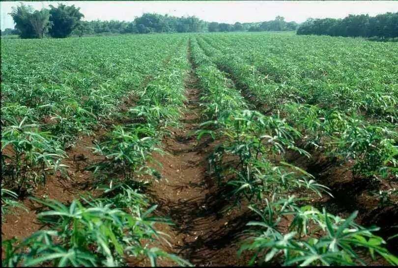 Cassava rows