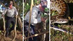 See man grappling with 10-feet python on the loose near school (photos/video)