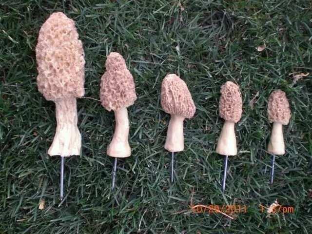 Mushroom farming in Nigeria morels